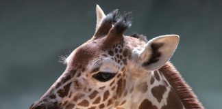 Witten the giraffe died at Dallas Zoo on Monday while undergoing a physical exam. (Twitter)